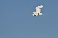 White Great Egret Flying in a Blue Sky Royalty Free Stock Image