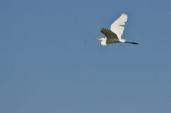 White Great Egret Flying in a Blue Sky Royalty Free Stock Photo