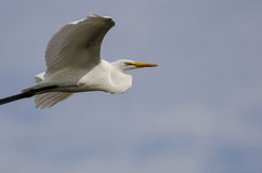 White Great Egret Flying in a Blue Sky Royalty Free Stock Images