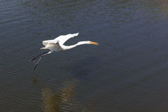 White Great Egret flying Stock Photos