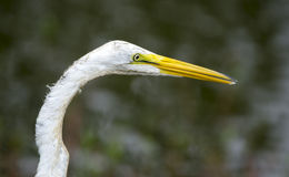 White Great Egret Royalty Free Stock Image