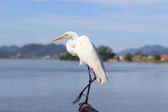 White Great Egret on Lake Stock Image