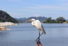 White Great Egret on Lake island Stock Images