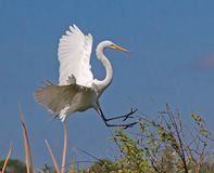 White Great Egret lands on bushes with wings spread Stock Photo