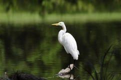 White Great Egret long-legged wading bird Royalty Free Stock Photo