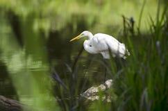 White Great Egret long-legged wading bird Royalty Free Stock Photos