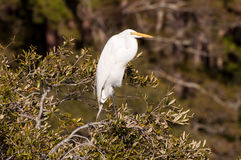 White great egret. A white great egret perched in a tree Royalty Free Stock Photography