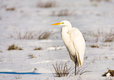 White great egret standing in a snow covered meadow Stock Image