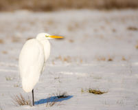 White great egret standing in a snow covered meadow Royalty Free Stock Photography