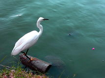 White Great Egret Stock Photos