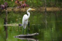 White Great Egret wading bird Stock Photography