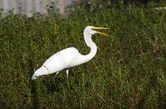 White Great Egret wading bird open mouth beak Stock Photo
