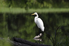 White Great Egret wading bird spear fishing on log in swamp Stock Images