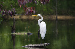 White Great Egret wading bird spear fishingon log in swamp Royalty Free Stock Photos