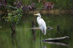 White Great Egret wading bird spear fishingon log in swamp Royalty Free Stock Photography