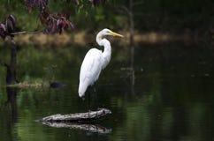 White Great Egret wading bird spear fishingon log in swamp Stock Image