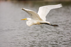 White, Great Egret royalty free stock photography