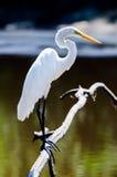 White Great Egret, Walton County Georgia Royalty Free Stock Photos