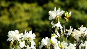 White great rhododendron moving stock footage