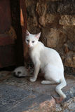 White greek cat with kitten, Crete, Greece Royalty Free Stock Photo