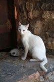 White greek cat with kitten, Crete, Greece Royalty Free Stock Photo