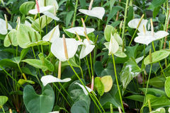 White and green Anthurium lily Stock Image