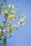 White-green blossom stock images