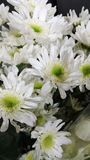 Pompom white. White and green colour pompom flowers Stock Images