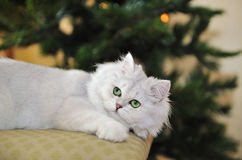 White green-eyed cat lying on ottoman, looking up Stock Images