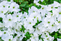 White green floral background of copious quantities of Petunia f Stock Photography