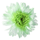 White-green  flower chrysanthemum, garden flower, white  isolated background with clipping path.  Closeup. no shadows. green centr Royalty Free Stock Image