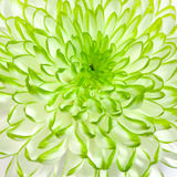 White - green flower closeup Royalty Free Stock Photos