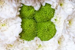 White and green flowers of chrysanthemum background Royalty Free Stock Images
