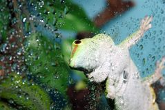 White and green gecko focus on eye Stock Photography