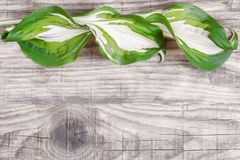 White-green leaves of the hosta on the background of the old gray boards.