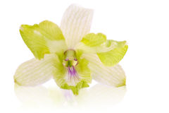 White and green orchid Stock Photos