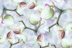 White-green-pink-red Buds  orchid.  background of flowers orchids. Flower composition.  a collage of motley  brindle  flowers. Stock Image