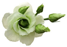 White rose flower on white isolated background with clipping path.  no shadows. Closeup. Stock Image