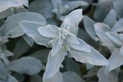 White and Green soft lambs ear plant. White and Green soft lambs ear garden plant royalty free stock photo