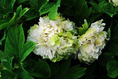 White green soft terry peony flowers on the bush, soft dark green blurry leaves. Background royalty free stock images