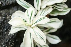 White green spiral Costus speciosus variegatus plant Royalty Free Stock Image