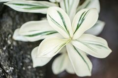 White green spiral Costus speciosus variegatus plant Royalty Free Stock Photography
