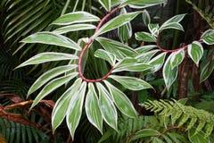 White green spiral Costus speciosus variegatus plant Royalty Free Stock Photo