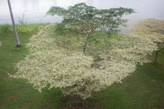 The White Green Terminalia ivorensis Chev Leaf in The Field Stock Photo
