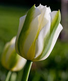 White and green tulips royalty free stock photography