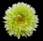 White-green-yellow flower Aster on the black isolated background with clipping path. Flower for design, texture,  postcard, wrappe. R.  Closeup.  Nature Stock Images