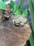 White& x27 ; grenouille d'arbre de s photo stock