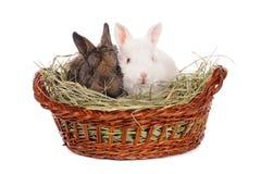 White and grey baby rabbit Stock Image