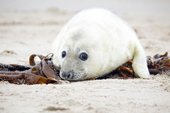 White grey baby seal  looks inquisitively with big Stock Images