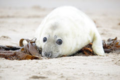 White grey baby seal  looks inquisitively with big Royalty Free Stock Photography